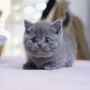 munchkin cat price